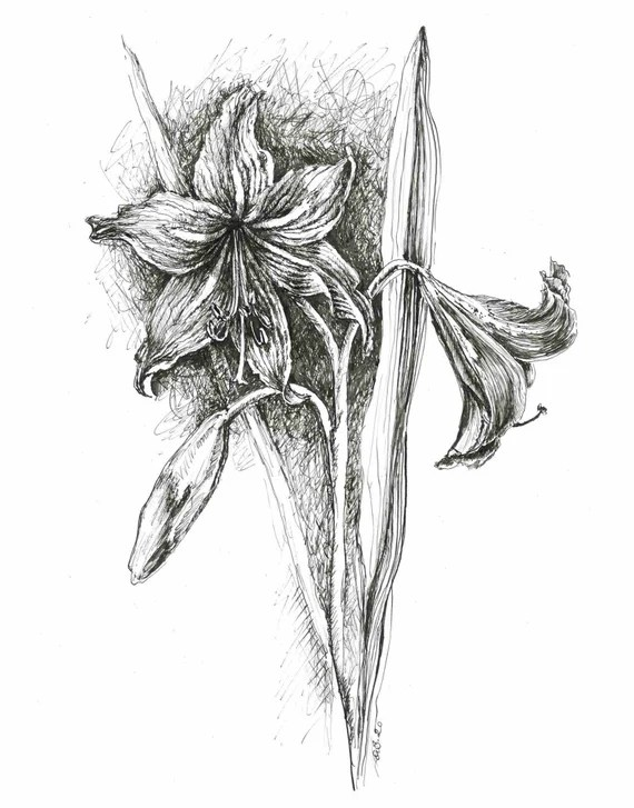 Lily Ink Drawing Lily Flower Print Flower Drawing Sketches Etsy