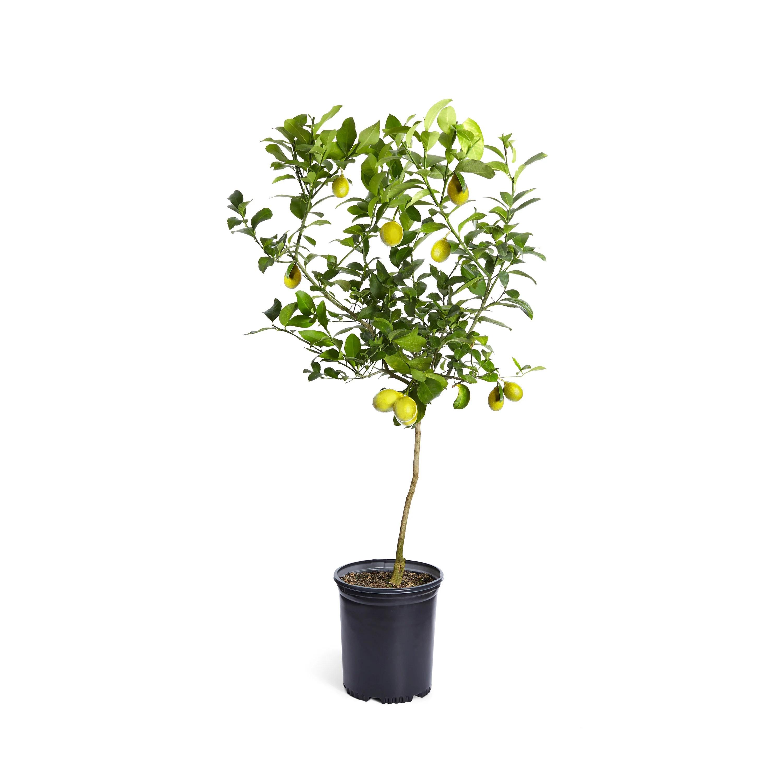 lemon tree etsy