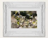Dewy Berry Blossom art - Glistening White Blueberry Blossoms - Floral Fruit Plant Kitchen Farm House Art, Lucky Star Dreams photography