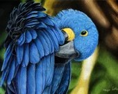 Hyacinth Macaw - Original coloured pencil painting by Wild Portrait Artist, A4 size (21 x 29.7cm) realistic drawing of a parrot