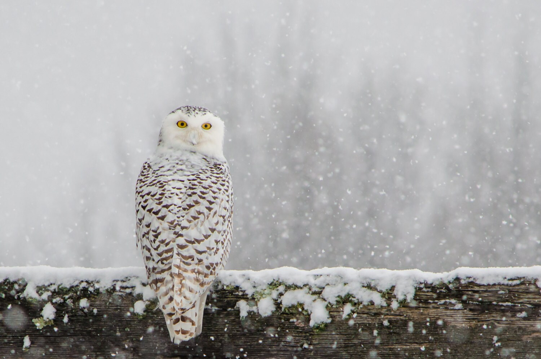Snowy Owl Print Snowy Owl In Snow Winter Art Snowy Owl