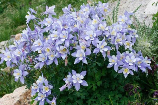 50 Blue ROCKY MOUNTAIN COLUMBINE Aquilegia Caerulea Flower ...