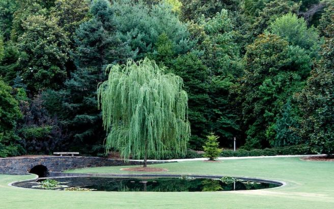 Weeping Willow Tree Salix 'babylonica' Large & Fast image 2