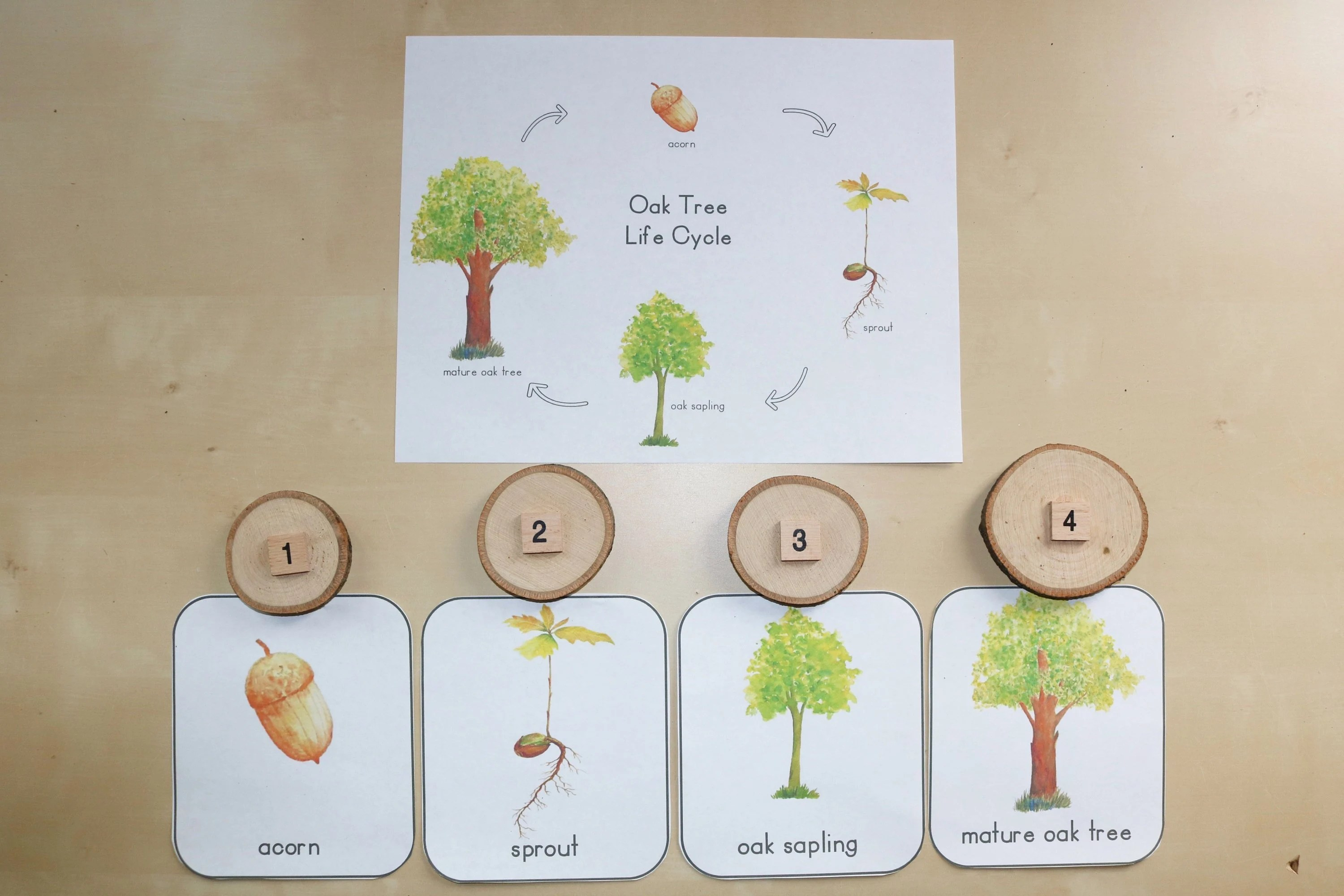 Oak Tree Life Cycle Pack