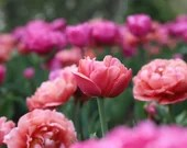 Field of Pink Tulips / Blank Greeting Card / Note Card / Nature / Photography