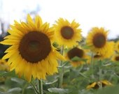 Three Sunflowers  / Blank Greeting Card / Note Card / Nature / Photography