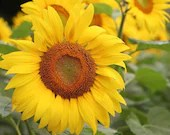 Sunflower / Blank Greeting Card / Note Card / Nature / Photography