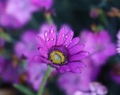 Purple Daisy / Blank Greeting Card / Note Card / Nature / Photography