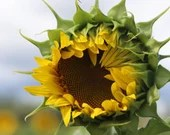 Sunflower Opening / Blank Greeting Card / Note Card / Nature / Photography