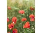 Mohnblumen Bild, Druck Natur, Fine Art Fotografie, Pflanzen Bilder, Fotografie Druck, Mohn, Druck Blumen, Bild Wiese, Fotografie Kunstdruck