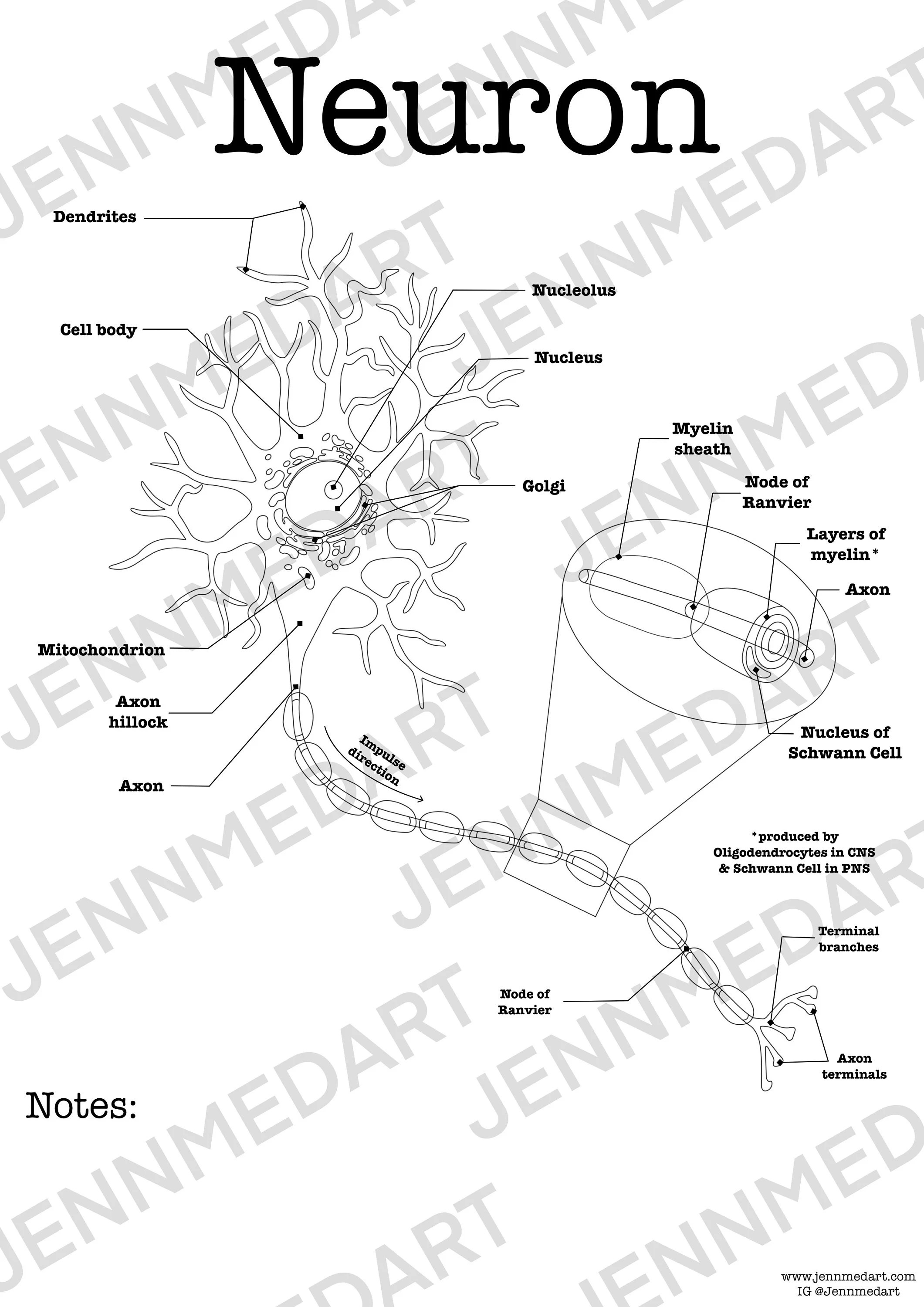 Neuron Anatomy Worksheet 3 In 1 Set A Labeled Coloring Page