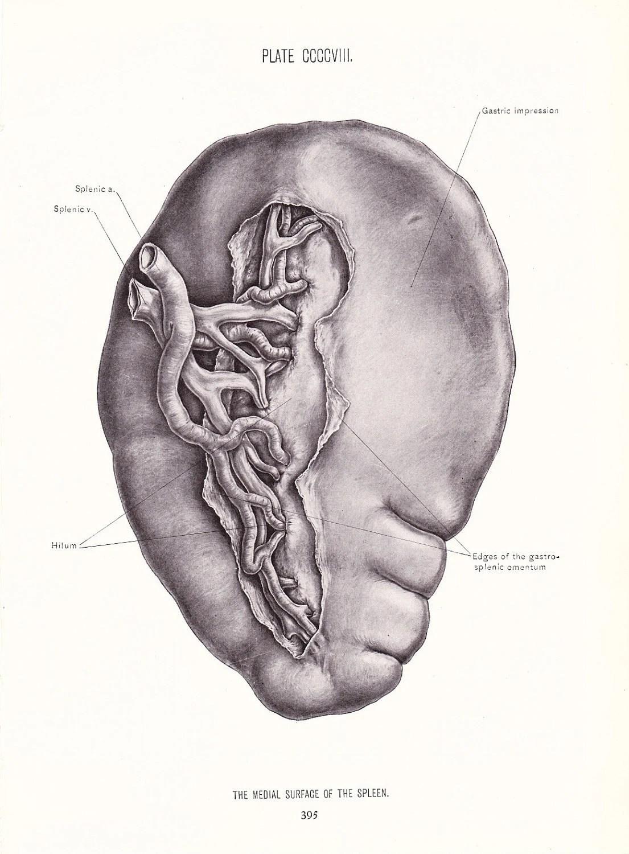 Anatomy Human Anatomy Print Medial Surface Of Spleen