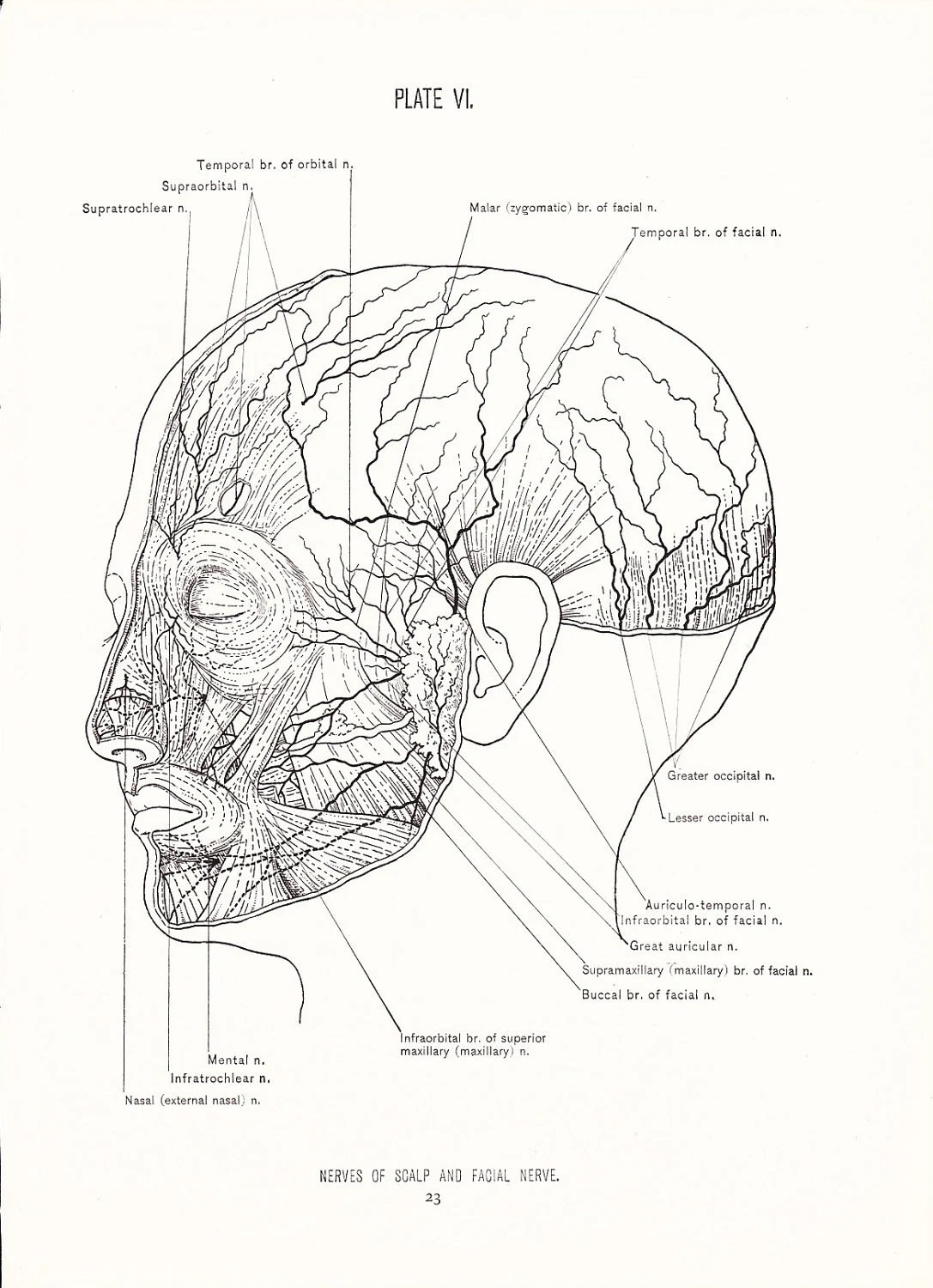 Human Anatomy Print Nerves Of Face And Scalp Vintage