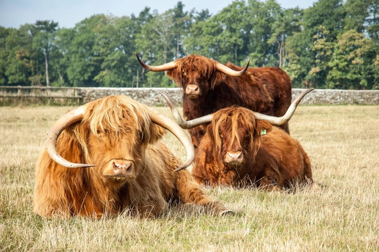 Highland Cattle 4 Fine Art Photography Highland Cow
