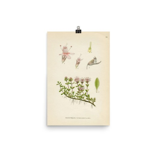 Breckland Thyme poster/ A...