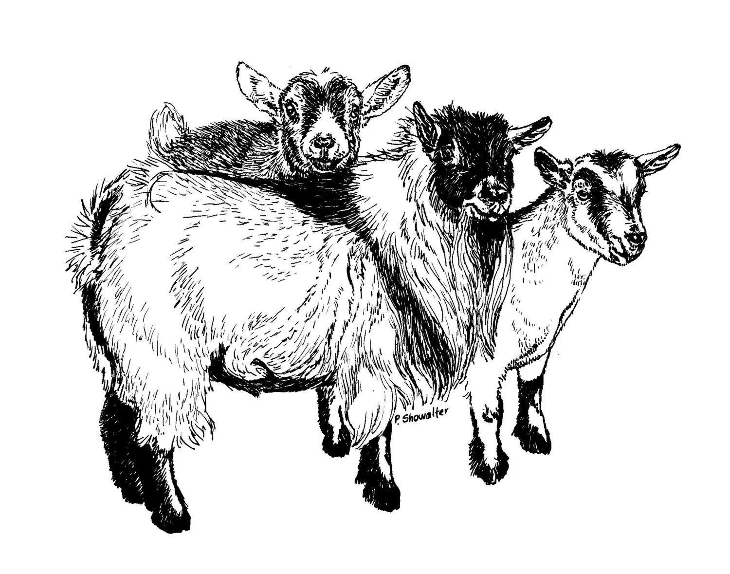 Original Of The Pen And Ink Pygmy Goat Drawing By Pat