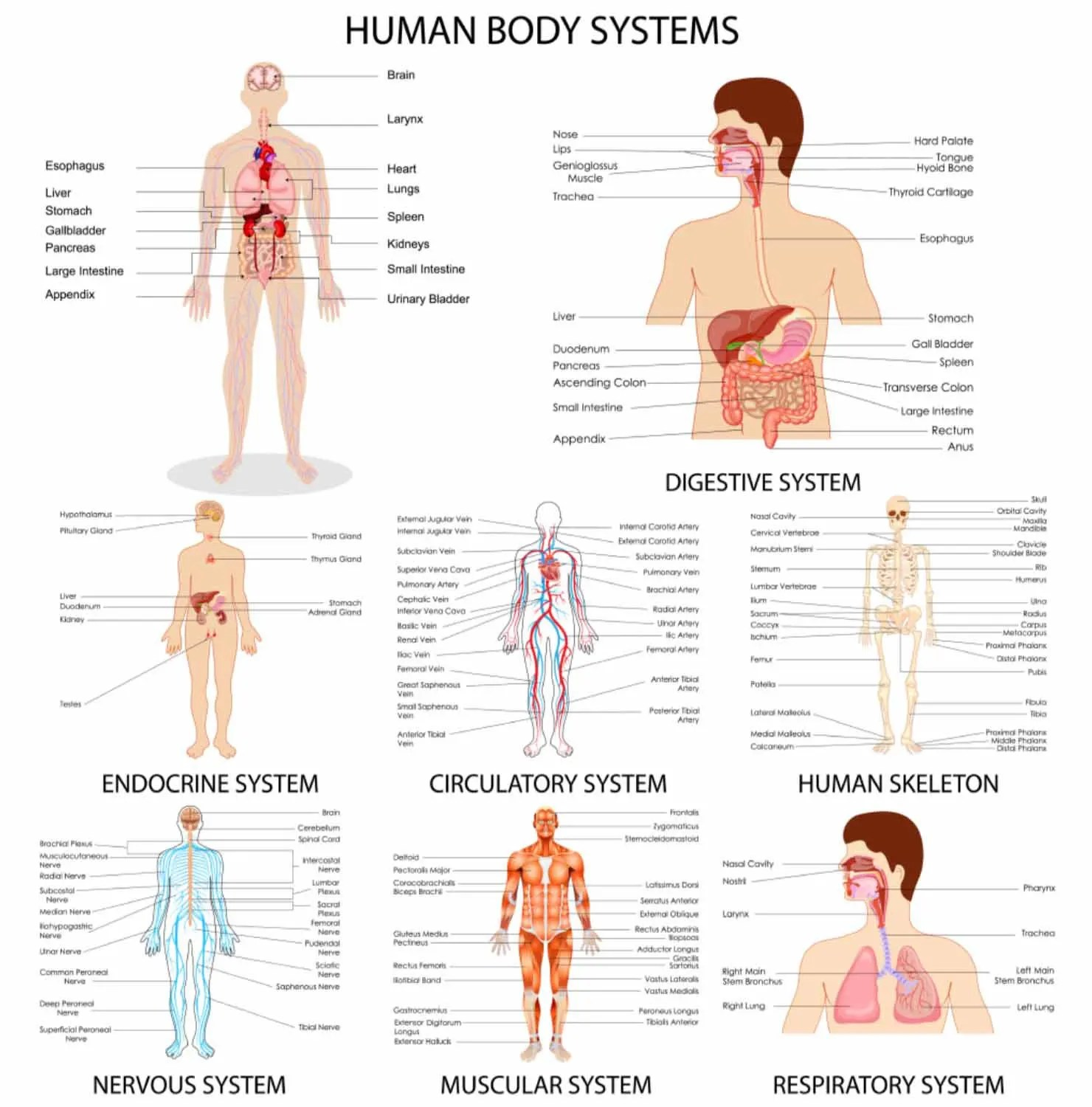 Human Body Systems Print Human Body Systems Poster Body