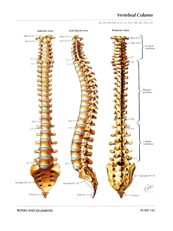 Anatomy Print Vertebral Column Thoracic Vertebrae Human