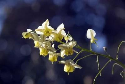 Epimedium flower.