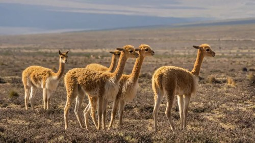 Le Pérou abrite la plus grande population de vigognes, ces camélidés réputés pour la finesse de leur laine.