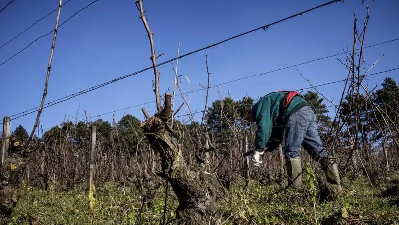 La flavescence dorée est provoquée par un insecte, elle peut tuer les vignes et le raisin.
