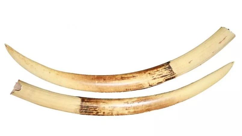 les defenses d ivoire se vendent toujours a prix d or