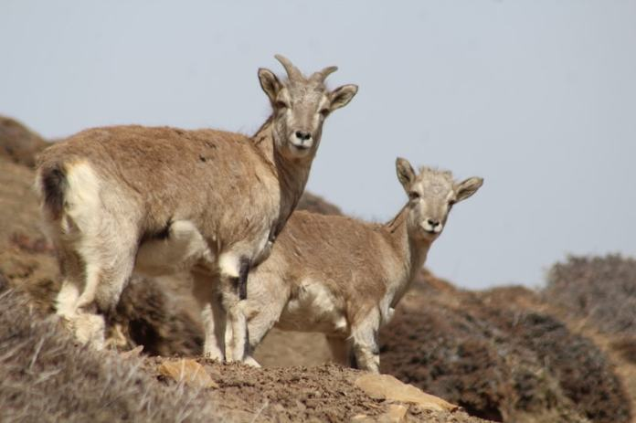 Munib Caption A female Blue sheep with its kid in the Lukdur plateau in Spiti These are key prey for the elusive and rare snow leopards in this region iolight