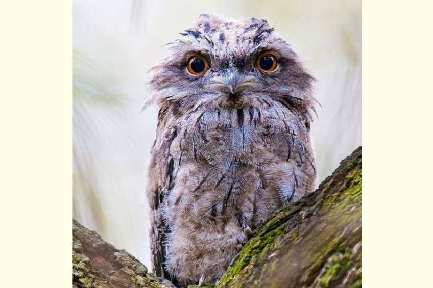 Most Photogenic Bird Is the Frogmouth, Researchers Find on Instagram