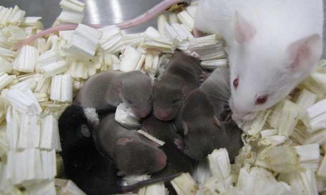 Mouse Sperm Survives in Space, but Could Human Babies?