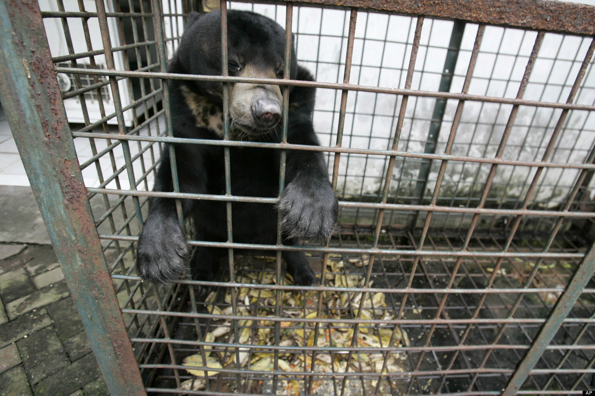 Five things you need to know about bear bile farming