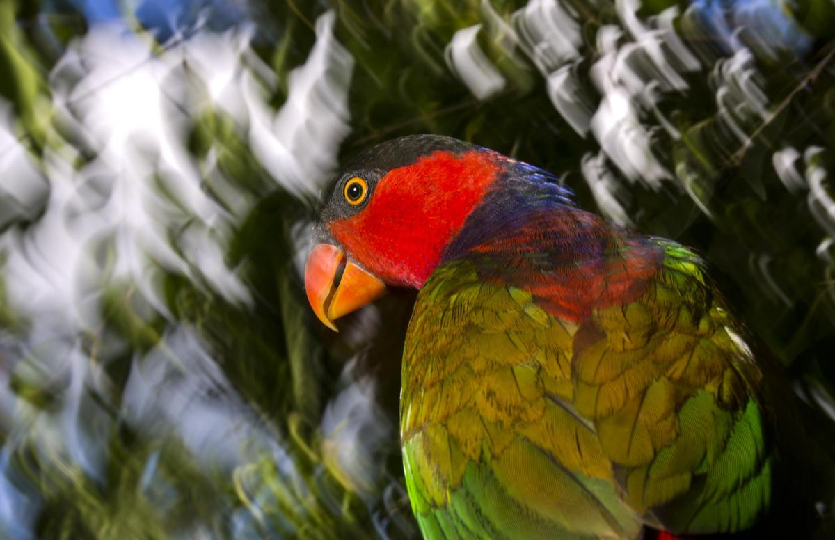Black-Capped Lory In Papua, photo by Paul Hilton
