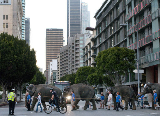 Elephants crossing Flower on 11th in downtown L.A.  Photo by AP.
