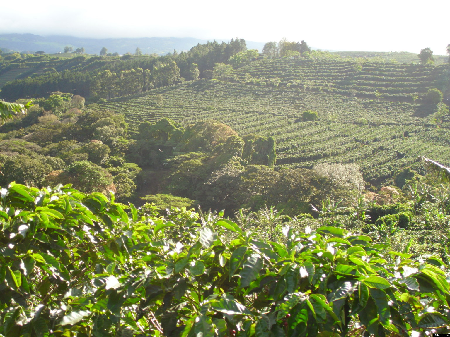 Starbucks To Start First Farm In Costa Rica To Cultivate