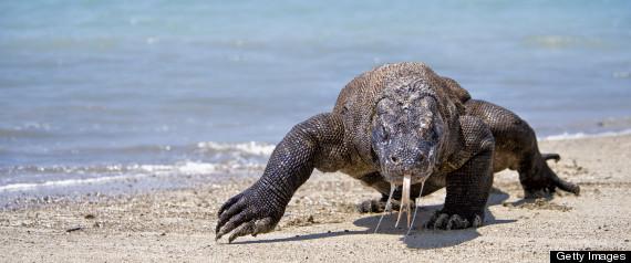 Komodo Dragon Attack
