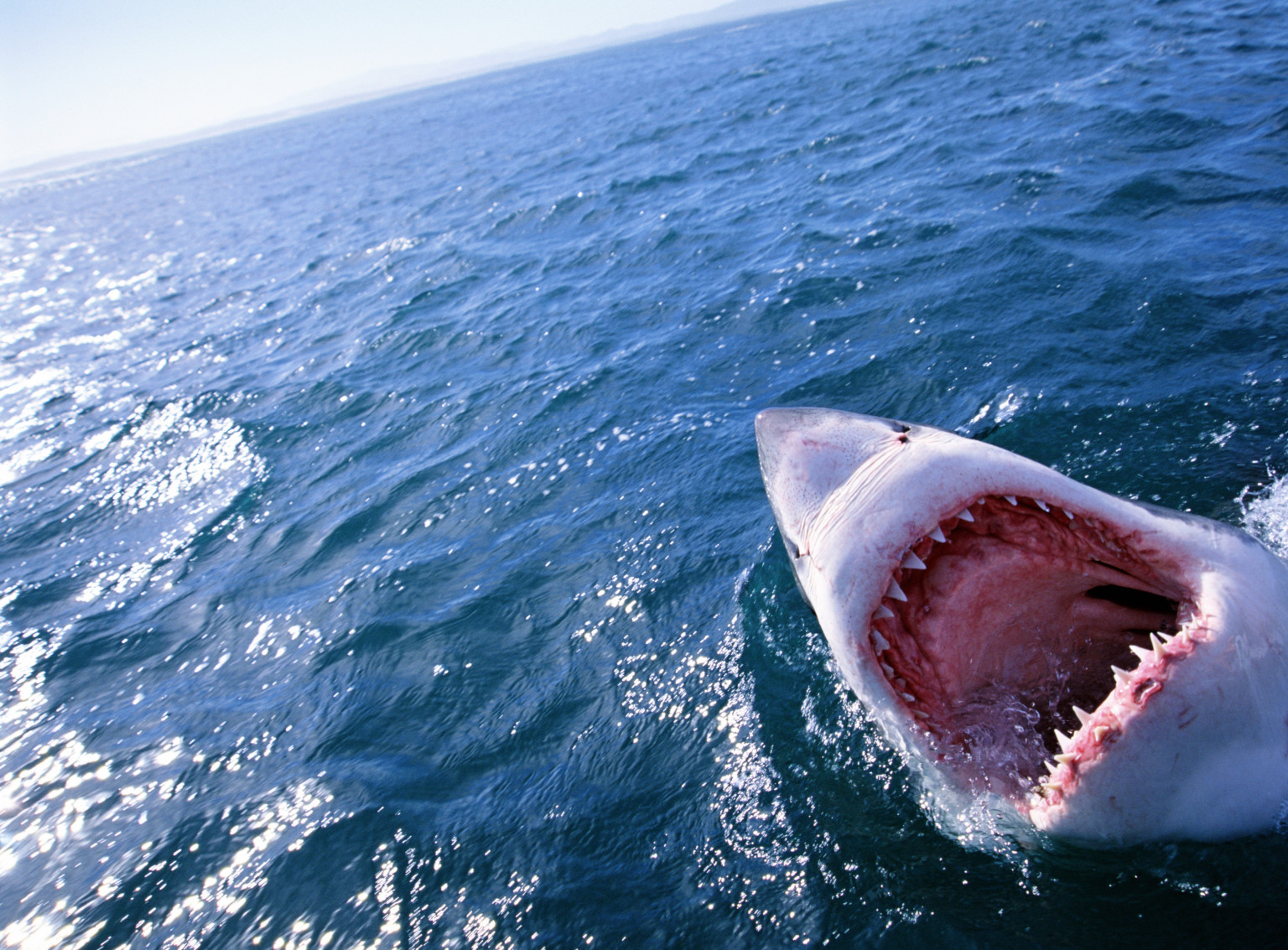 White Sharks Don T Face Extinction Shouldn T Be Listed