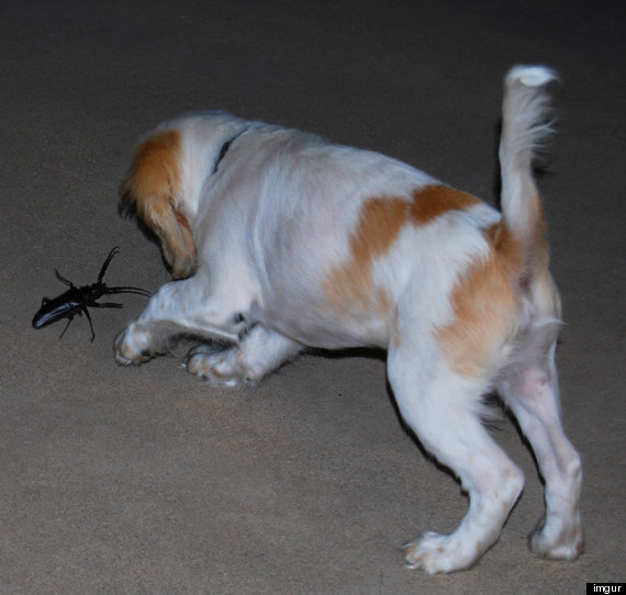 Palo Verde Beetles Huge Horny Bugs Descend On Arizona