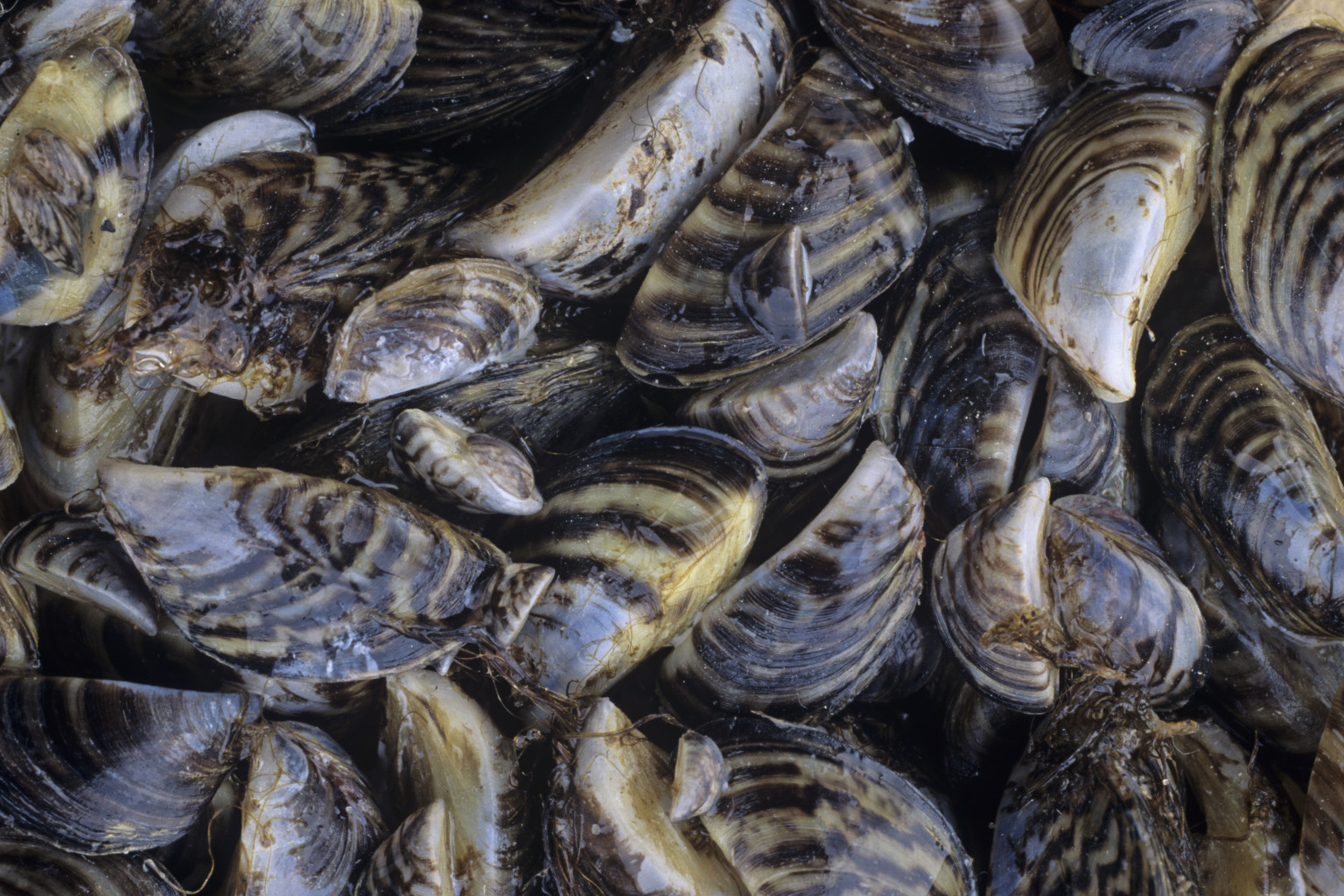 How One Little Mussel Changed The Great Lakes Forever