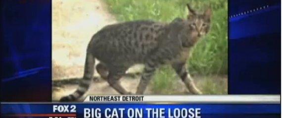 Detroit Big Cat Giant Savannah Breed Animal Named Chum