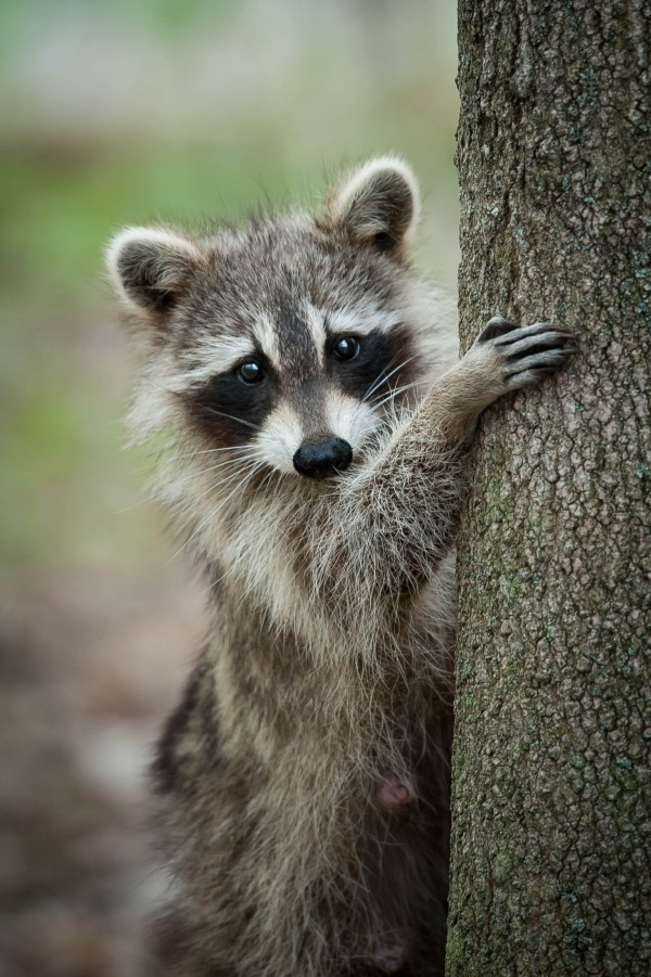 Armed Man Tries To Shoot Raccoon, Sneezes, Shoots Self ...