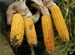 Germany Gm Corn