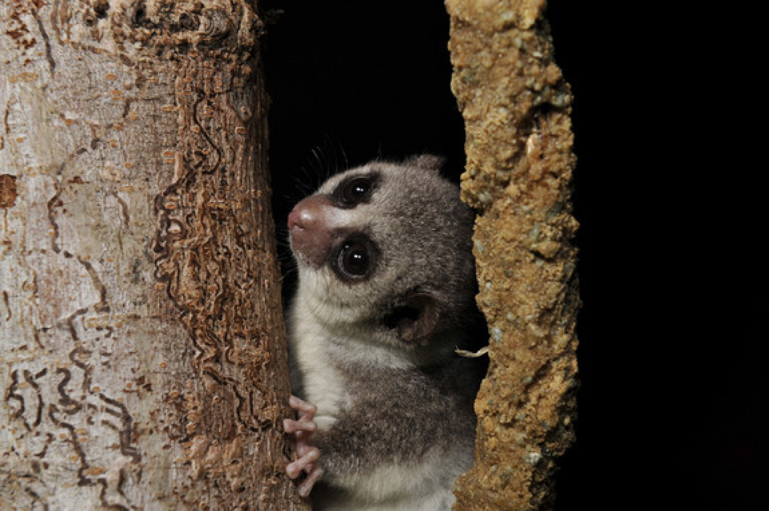 Odd Hibernating Primate Fat Tailed Dwarf Lemur May Help