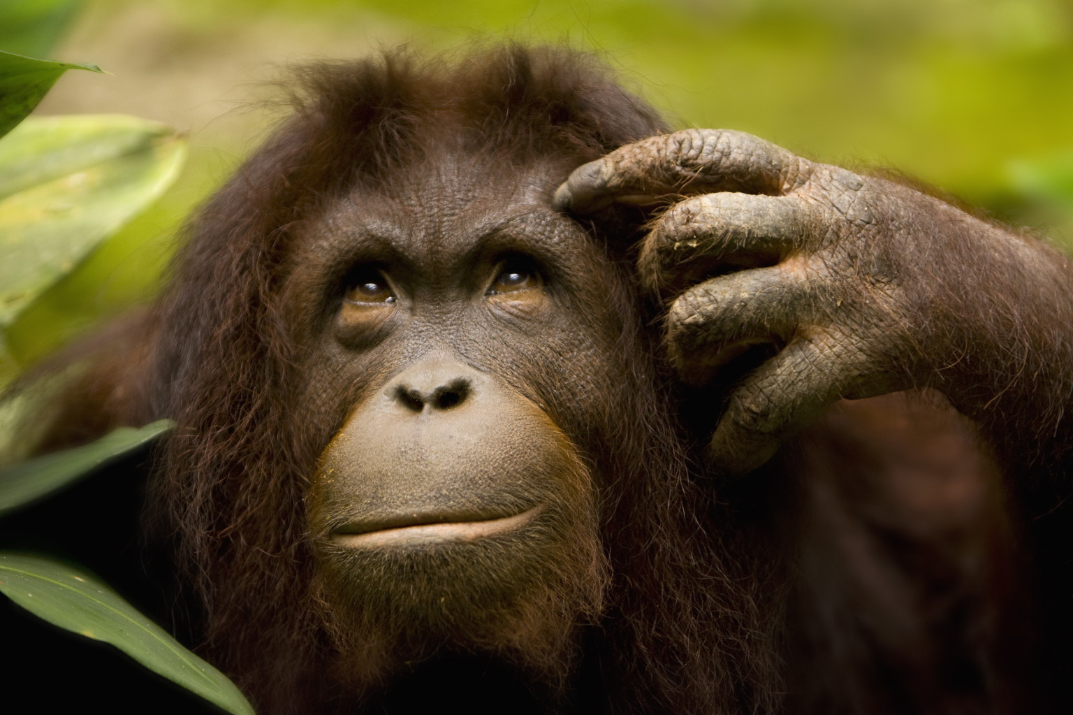 Picture of a thoughtful orangutan