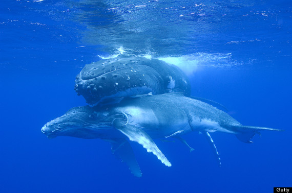 two humpback