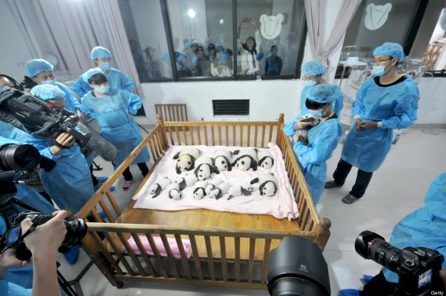 baby panda doctor crowd