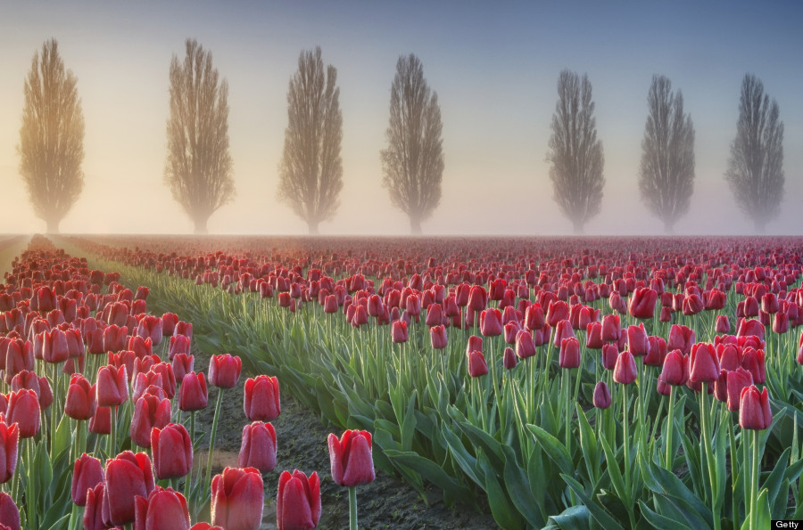 tulip fields washington
