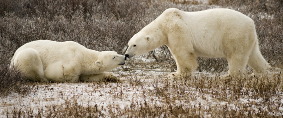2 Polar Bears Shot And Killed After Attack In Northern Canada