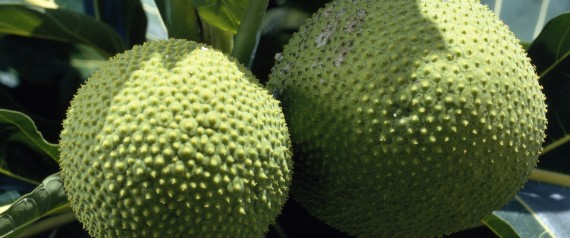 breadfruit world hunger