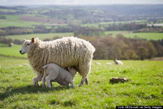 ewe nursing