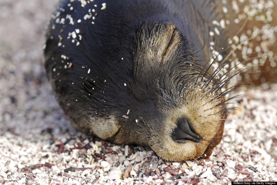 seal pup sleeping