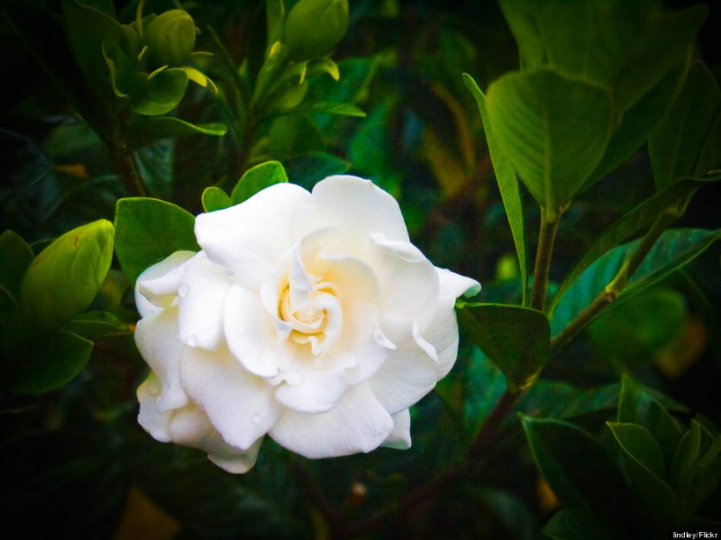 Hawaii s Flowers Are As Intricate And Alluring As Their Names   HuffPost hawaii gardenia